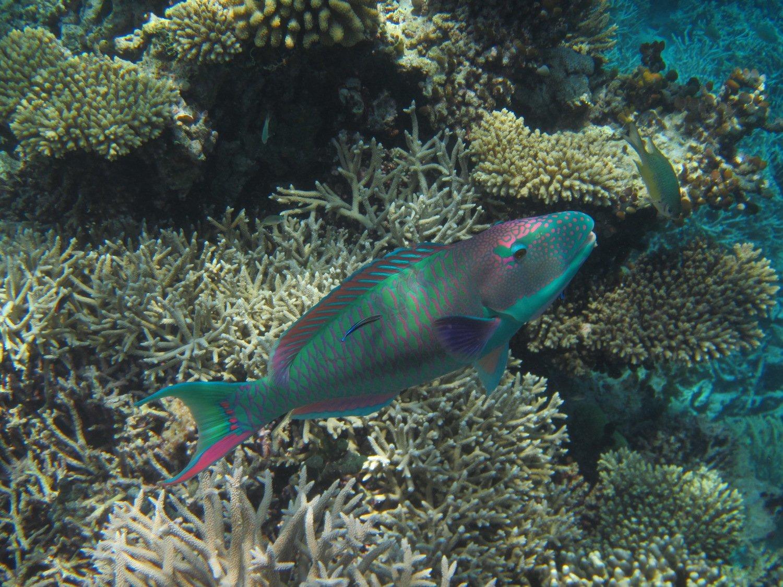 Jamaican parrotfish